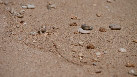 Ghost Crab Foraging on the Sand, Oahu, Hawaii