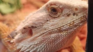 Lizard Boss