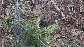 Rare Close Encounter with Endangered Northern Maine Canadian Lynx