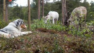 Australian Shepherd pretends to be a reindeer