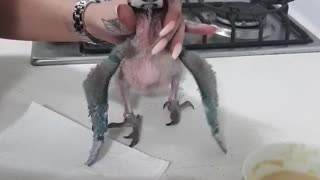 Baby parrot gets overly excited for feeding routine