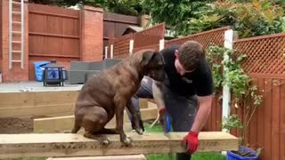 """Super sweet doggy """"helps"""" her owner with his work"""