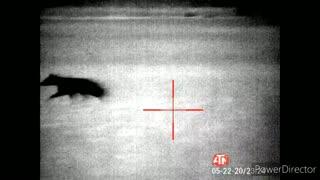 Atn thor 4 thermal coyote hunt