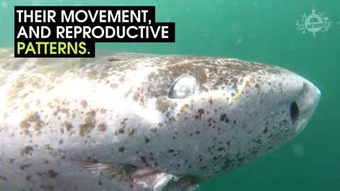 Greenland Sharks May Be The Oldest Creatures On Earth