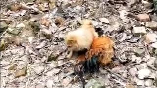 Chicken Dog funny video