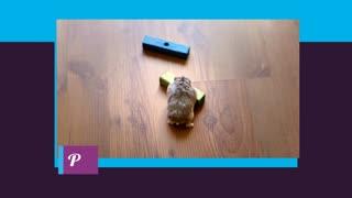 smart hamster.