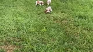 Brittany puppies unleashed