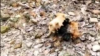 Funny Dog Fighting with Chickens