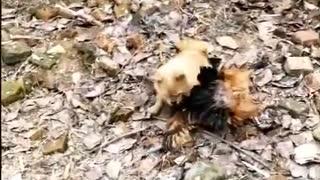 Dog vs chickens fight