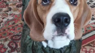 Beagle puppy takes the first steps in a new jumpsuit