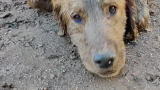 Happy Muddy Dog Digs Some Holes