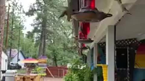 Hummingbirds Swarming