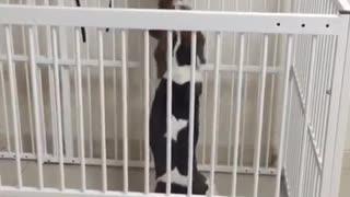 Beagle cat play pen cat struggles