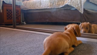 Watch this dog going crazy with mirror