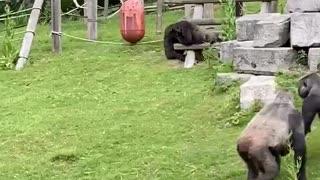 Baby Gorilla Kept Safe While Silverback Settles Scuffle