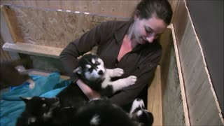 Husky Puppies Attack Unsuspecting Girl!