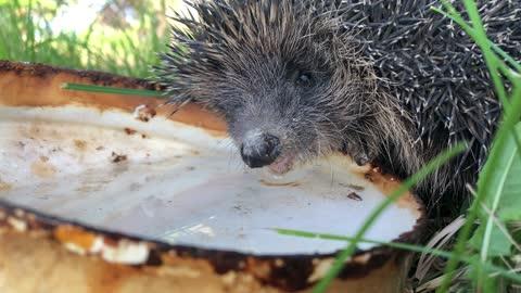 Hedgehog drinks water in my garden