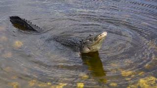 Large Bull Male Alligator Call