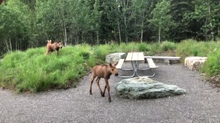 Four Moose Calves Stroll Past