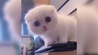 Funny and Cute Cat Playing With Itself