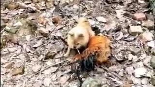 Dog Fight Against Chicken