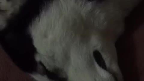 Husky funny sleep