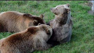brown bear feed