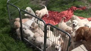 adorable puppies 0001