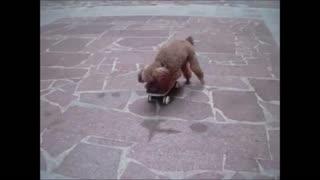cute puppy skateboarding talent