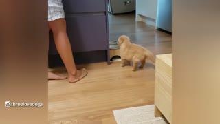 Little Potato Golden Puppy Waiting For Dinner cute