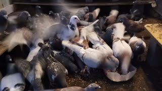 pigeon eating dinner
