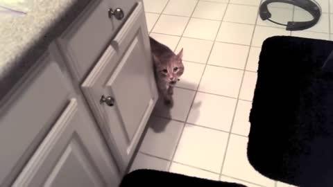 my cat meows aggressively, then attacks