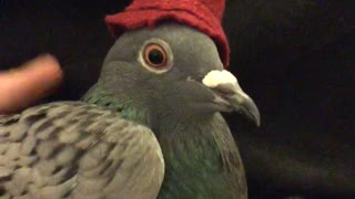 Pigeon wears small hat