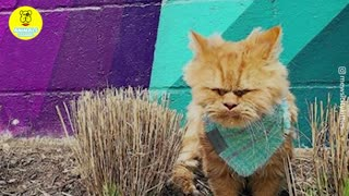 A flight attendant rescue an adorable ginger Persian cat with incontinence on the streets
