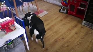 Funny Boston terriers