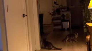 Cat jumps