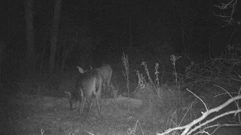 7 and 8 point PA bucks hanging out together