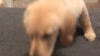 Puppy golden retriever climbs up the stairs for the first time