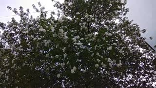 apple tree blossoms in spring