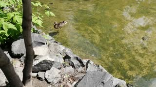 Ducks swim in the water.