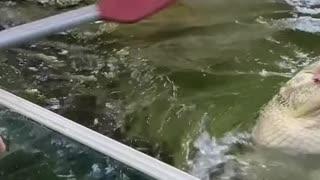 Feeding Wild Alligator