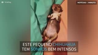 Chihuahua filhote tem um sono bem agitado