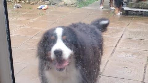 Bernese Mountain Dog knocking on the door