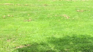 Deer Chases Dog