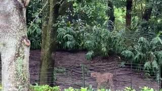 Cheetahs are awake at Disney Animal Kingdom