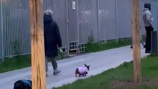 Tiny Steps for Adorable Dog