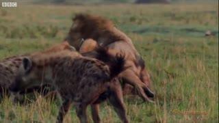 Lion Fights Back