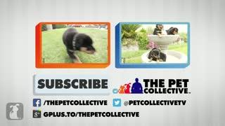 Golden Retriever Puppy Attacks Camera