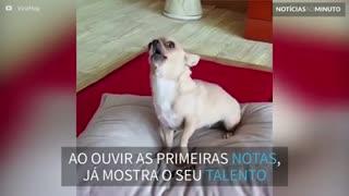 Chihuahua cantor mostra seu talento quando tocam gaita harmônica