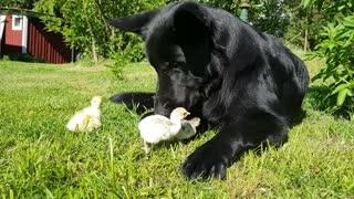German Shepherd lovingly welcomes newborn batch of chicks